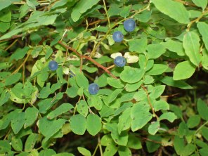 Highbush blueberries, what a treat!