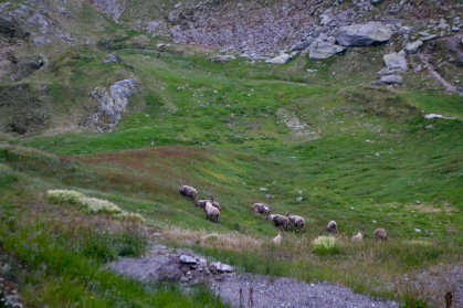 Capricorns roaming the hillside