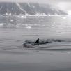 Minke whale, Antarctica