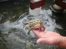 "A ""peeler"" in the middle of molting. The resulting crab is far larger than its shell, amazing"